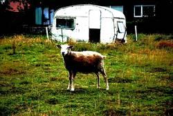 Einsames Schaf auf Weide