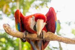 Straight looking Scarlett Macaw parrot