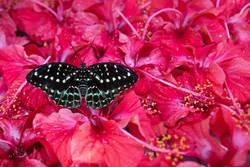 Black and white Butterfly sitting in Hibiskus blossoms