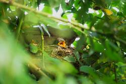 Two Blackbird chicks in a hidden nest with mother on top
