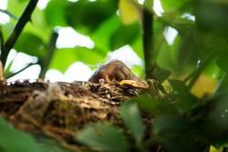 Blackbird chick in a hidden nest
