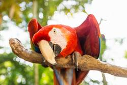 Playful looking Scarlett Macaw parrot