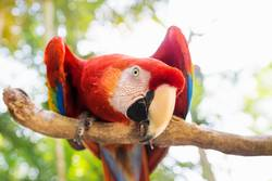 Scarlett Macaw parrot in Honduras