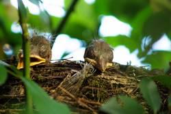 Two Blackbird chicks in a hidden nest