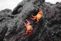 Flinke Krabben (Galapagos)