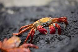 Krabbeln II (Galapagos)