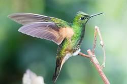 Flying Artist (Kolibri, Nebelwald Ecuador)