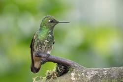 Flying Artist II (Kolibri, Nebelwald Ecuador)