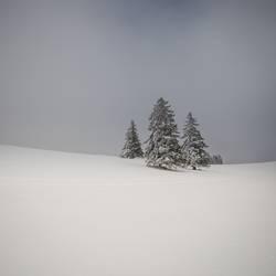 wo die Weihnachtsbäume wachsen
