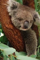 koala staring at you on the tree