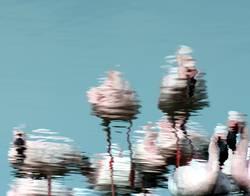 Flauschige Flamingos flanieren im flachen Wasser
