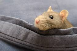 Pinki die Ratte