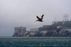 Alcatraz - Pelikan vor Pelikaninsel