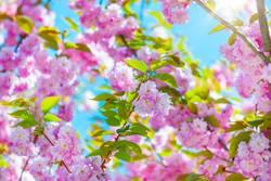 Kirschblüten - Japanische Blütenkirsche [10042011_0018]
