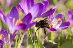 Krokusse mit Hummel im Frühling