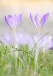 Krokusse als Frühlingsboten