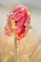 Papageien oder auch Regenbogen Tulpe