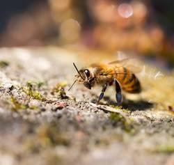 Honigbiene bei der Körperpflege