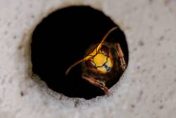 Hornissen Königin im Flugloch