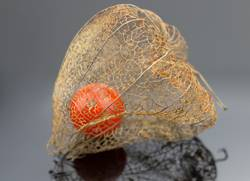 reife Frucht der Lampionblume | Fingerspitzengefühl