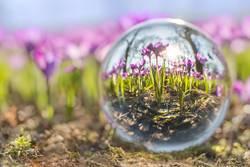 Krokusse in der Glaskugel