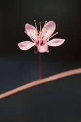 rosa Blüte mit dunklem Hintergrund