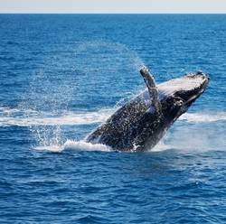 in australia a free whale in the ocean