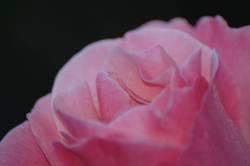 Rosa Rose II
