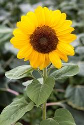 Sonnenblümchen