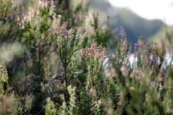 Heidekraut am See