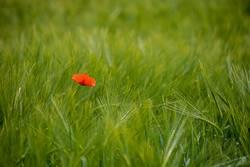 einzelner roter Mohn inmitten eines saftig grünen Weizenfeldes