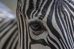 Zebra Nahaufnahme Auge