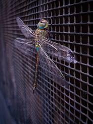 Dragon-Fly I