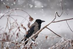Nebelkrähe im Schnee