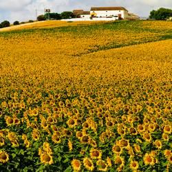 Sonnenblumenfeld V
