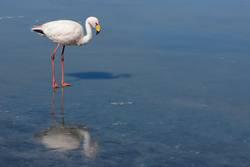 Flamingo mit Eis
