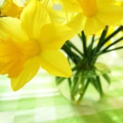 Noch mehr Frühlingsnarzissen