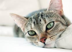 mogli, the cat