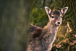 Bambi guckt