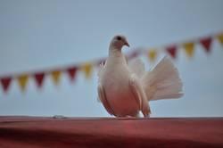 Zauberhafte Taube 1