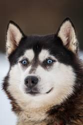 Husky mit blauen Augen....