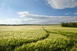 widebarley