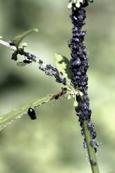 Ameisenmelkerei