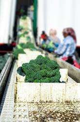 Harvest broccoli in farm with tractor and conveyor.