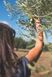 Hand, die Olivenbaumzweig hält.