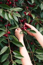 Woman picking cherry berries from tree