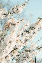 Branches with white cherry blossoms in orchard in spring