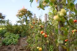 Tomatengarten