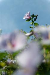 Blumengipfel