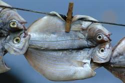 Fische trocknen an Leine
